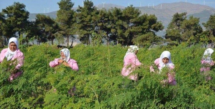 'Mucize bitki' Moringa Oleifera için hasat zamanı