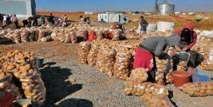 Ahlat'ta 200 bin ton patates üretimi