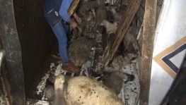 Koyunları taşıyan kamyon devrildi 8 kuzu telef oldu