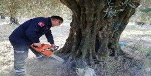 Zeytin ağacının içinde mahsur kalan köpek yavrularını itfaiye kurtardı, anneleri ise öldü
