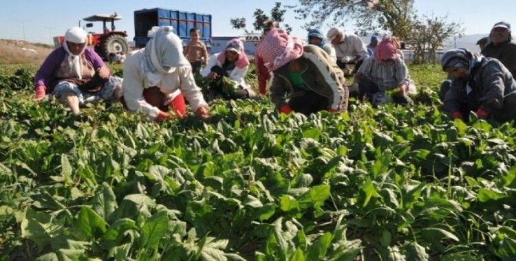Çiftçiye ıspanak eğitimi veriliyor