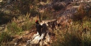 Kara ağaçkakan Tekirdağ'da görüntülendi