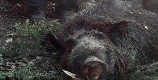 453 kiloluk domuzu görenler gözlerine inanamadı