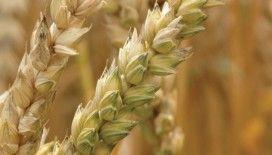 En eski buğday anadolu'da hayat buluyor