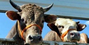 Türkiye hayvansal üretimde 'net ihracatçı' ülke