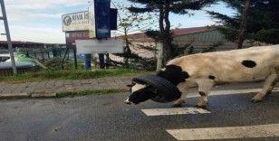 (Özel) Kafasına araba lastiği takılan ineği vatandaşlar böyle kurtardı