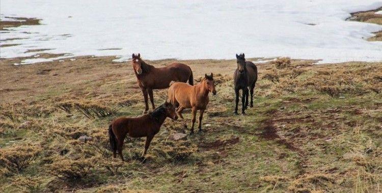 Çetin kış şartlarının yaşandığı Tunceli'de yılkı atlarının yem bulma mücadelesi