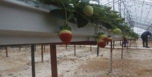 Hindistan cevizi lifine ekilen çilekte ilk hasat