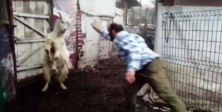 (Özel) Keçi ile çobanın dostluğu yürekleri ısıtıyor
