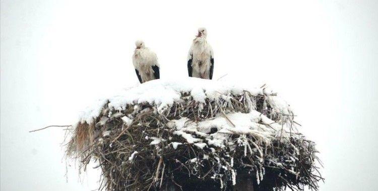 3 yıldır göç etmeyen leylekler köyün maskotu oldu