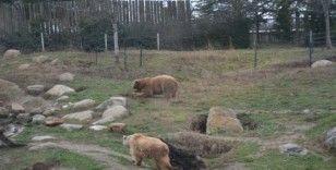 Kış ayının sıcak geçmesi boz ayıların uykusunu kaçırdı