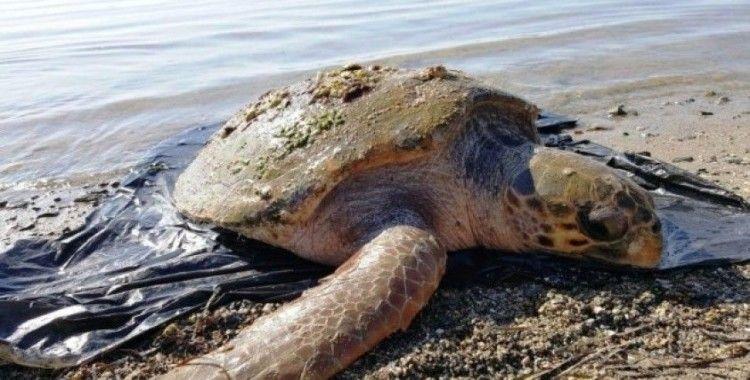 Nesli tükenmekte olan kaplumbağa ölü bulundu