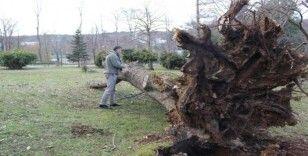 (Özel) Ağaç yıkılmalarına röntgen ve tomografi ile önlem