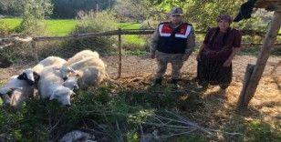 Jandarma çalınan koyunları bulup sahibine teslim etti