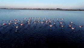 Kış mevsimi ılıman geçince flamingolar göç etmedi