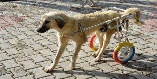 Engelli hayvanlar yürüteçle hayata bağlandı