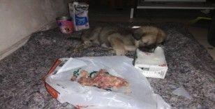 Sırtı yanan ve açlıktan bitkin düşen yavru köpeğe yardım eli