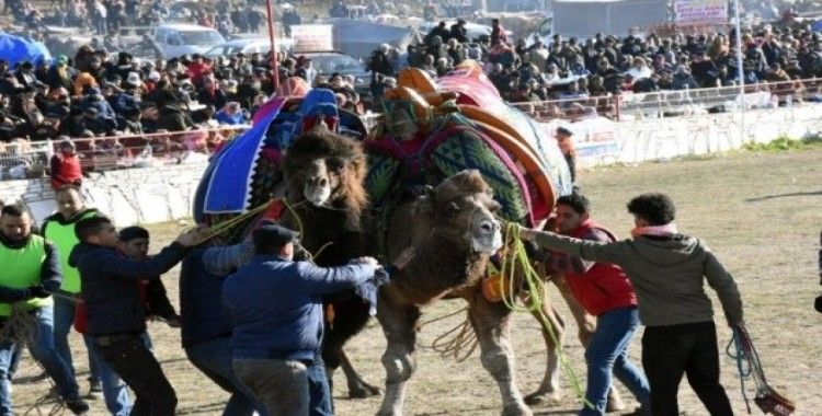 Yatağan'da deve güreşi