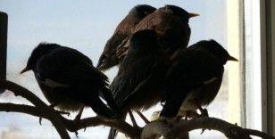 Van'da ele geçirilen Çiğdeci kuşları hayvanat bahçesine gönderilecek