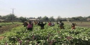 TİKA'dan Gineli kadınlara tarım alanında istihdam