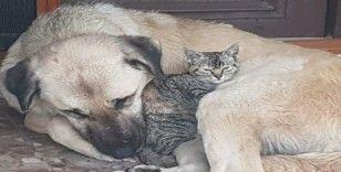 Köpeğin, annesi telef olan yavru kediye şefkati