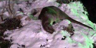 Nesli tehdit altındaki samur ailesinin kar ve yüzme keyfi