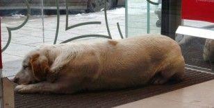 Soğukta üşüyen köpek mağazanın sıcak kliması altında uyuya kaldı