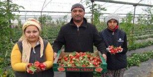 Silifke'de kış ortasında çilek hasadı