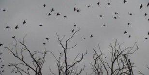 Sığırcık kuşlarının dansı hayran bıraktı