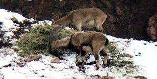 Aç kalan dağ keçileri yonca ile beslendi