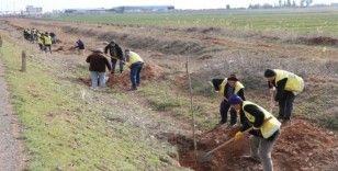 Şanluırfa'da 100 bin fidan toprakla buluşuyor
