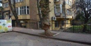 Devrilme riski taşıyan ağaç kesildi