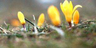 Baharın müjdecisi çiğdemler çiçek açtı