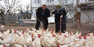Yaşlı çift, bin tavuktan 800 adet organik yumurta üretiyor
