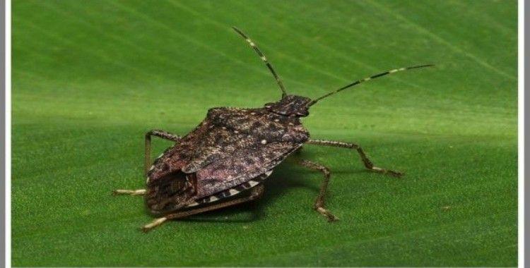 """""""Kahverengi Kokarca"""" böceği özellikle fındık bahçelerini  tehdit etmeye devam ediyor"""
