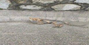 Yol kenarındaki yaralı tilki yetkililere teslim edildi