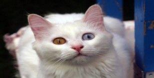 Korona virüsü Van kedisi ziyaretlerini durdurdu