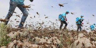 Afrika'dan gelen çöl çekirgeleri 25 milyon insanı tehdit ediyor