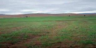 Buğday tarlaları 60 yıl sonra ilk kez ekildi
