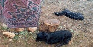 Sokak köpekleri oğlakları telef etti