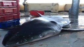 Ordulu balıkçıların ağına yarım tonluk köpek balığı takıldı