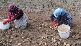 Sivas patates üretiminde 10'uncu sırada