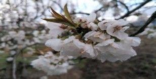 Kuşadası Kirazlı'nın kiraz çiçekleri açtı
