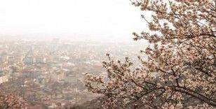 Çiçek açan badem ağaçları bu zor günlerde umut oldu