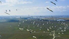 Pelikanlar Eber Gölünde görüntülendi
