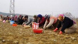 Kastamonu'da 22 bin dönüm alana sarımsak ekildi