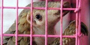 Gabon'da Kovid-19 bulaştırdıkları gerekçesiyle pangolin ve yarasanın tüketim ve satışları yasaklandı