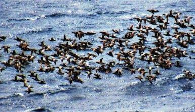 Bodrum'a turistler değil ördekler akın etti