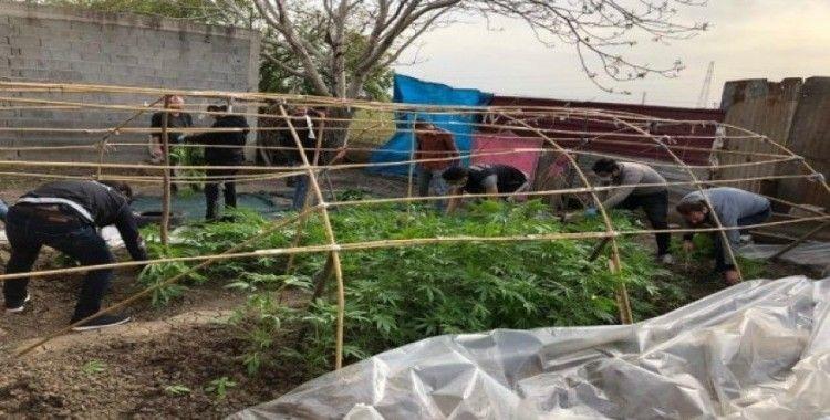 Bahçesine Hint keneviri serası kuran zanlıdan korona savunması