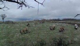 Yaban keçileri, foto kapanla görüntülendi